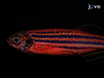 Normal and Malignant Muscle Cell Transplantation into Immune Compromised Adult Zebrafish thumbnail