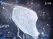 Gjøre og ikke gjøre i utarbeidelsen av Muscle frysesnitt for histologisk analyse thumbnail