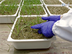 Protocols for Robust Herbicide Resistance Testing in Different Weed Species thumbnail