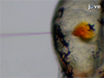 Deciphering and Imaging Pathogenesis and Cording of <em>Mycobacterium abscessus</em> in Zebrafish Embryos thumbnail