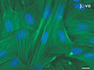 Isolatie van Sertoli cellen en peritubulaire Cellen van Rat Testikels thumbnail
