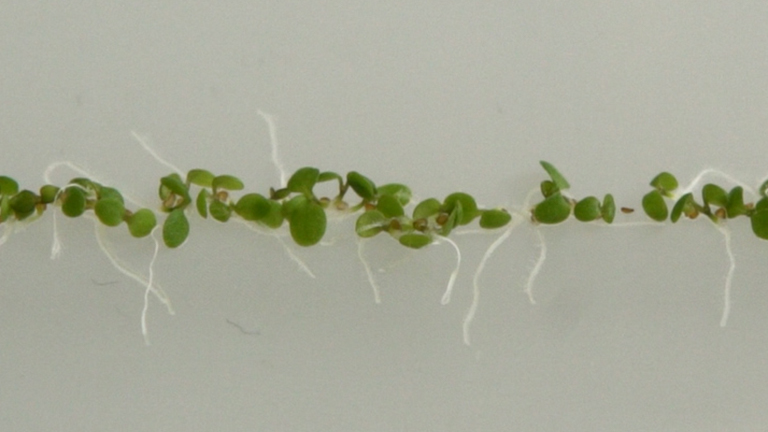 Lateral Root Inducible System in <em>Arabidopsis</em> and Maize thumbnail