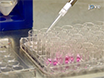 Highly Sensitive Assay for Measurement of Arenavirus-cell Attachment thumbnail