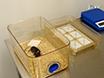 En förbättrad metod för Rapid Intubation av luftstrupen hos möss thumbnail