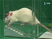 A Novel Approach to Assess Motor Outcome of Deep Brain Stimulation Effects in the Hemiparkinsonian Rat: Staircase and Cylinder Test thumbnail