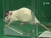 גישה חדשנית להעריך תוצאה מנוע של אפקטים גירוי מוחי עמוק בתוך עכברוש Hemiparkinsonian: המדרגות צילינדר מבחן thumbnail