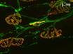 עצב שׁוֹקִיתִי השיטה פגיעה: A Assay אמין כדי לזהות מבחן הגורמים תיקון Neuromuscular הצומת thumbnail