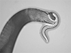 Assaying Predatory Feeding Behaviors in <em>Pristionchus</em> and Other Nematodes thumbnail