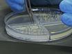 Utilizing the Ethylene-releasing Compound, 2-Chloroethylphosphonic Acid, as a Tool to Study Ethylene Response in Bacteria thumbnail