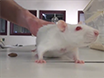 En modell av Free Tissue Transfer: The Rat Epigastric Gratis Flap thumbnail