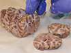 Exposure of the Pig CNS for Histological Analysis: A Manual for Decapitation, Skull Opening, and Brain Removal thumbnail