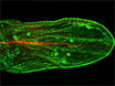 A Rapid and Efficient Method to Dissect Pupal Wings of <em>Drosophila</em> Suitable for Immunodetections or PCR Assays thumbnail