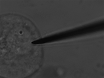 Monitoring the Effect of Osmotic Stress on Secretory Vesicles and Exocytosis thumbnail