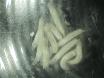 Dissektion och färgning av <em>Drosophila </em>Pupp äggstockarna thumbnail