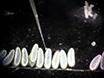 Microinjection de l'embryon et de la Technique de Transplantation pour la Manipulation du génome <em>Nasonia vitripennis</em> thumbnail