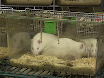 A New Method for Inducing a Depression-Like Behavior in Rats thumbnail