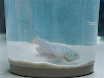 Protocol for Acute and Chronic Ecotoxicity Testing of the Turquoise Killifish <em>Nothobranchius furzeri</em> thumbnail