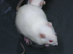 A Rat Model of Central Fatigue Using a Modified Multiple Platform Method thumbnail