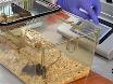 Kanüle Implantation in die Cisterna Magna von Nagetieren thumbnail