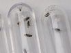 Experimental Protocol for Using <em>Drosophila</em> As an Invertebrate Model System for Toxicity Testing in the Laboratory thumbnail