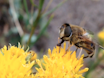 לגידול ואחזקה ארוך טווח של <em>רקבן הבוץ</em> Hoverflies למטרות מחקר thumbnail