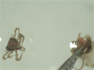 Visualization of Microbiota in Tick Guts by Whole-mount <em>In Situ</em> Hybridization thumbnail