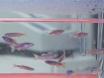 Modeling Tuberculosis in <em>Mycobacterium marinum</em> Infected Adult Zebrafish thumbnail