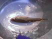 Volwassen Zebrafish letsel modellen te bestuderen van de effecten van prednisolon in het herstel van botweefsel thumbnail