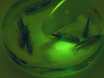 Immunization of Adult Zebrafish for the Preclinical Screening of DNA-based Vaccines thumbnail