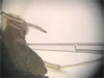 Microinjection을 사용 Aphids에 바이러스성 전송 생리 장벽을 테스트 thumbnail