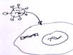 Molekylär evolution av Tre Recombinase thumbnail